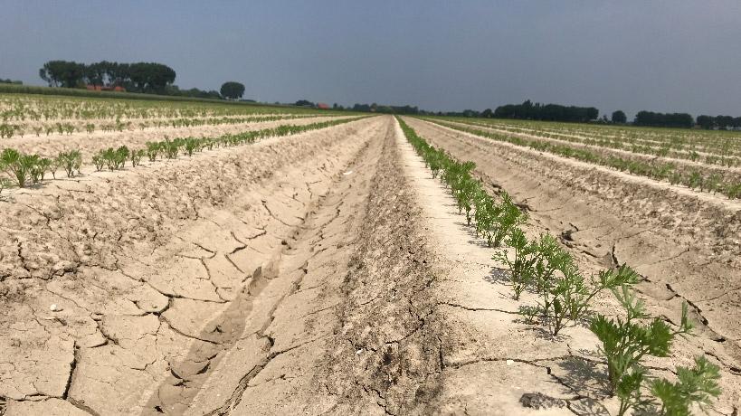 Gewasschade door droogte in wortelen